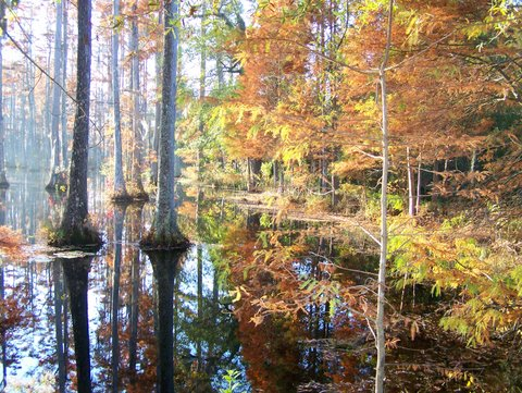 Fall In The Swamp,golden Brown Bald Cypress Trees