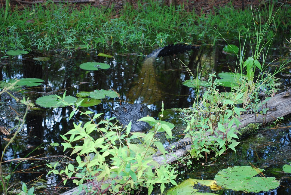 Cypress_swamp